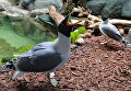 Черноголовые хохотуны в Московском зоопарке