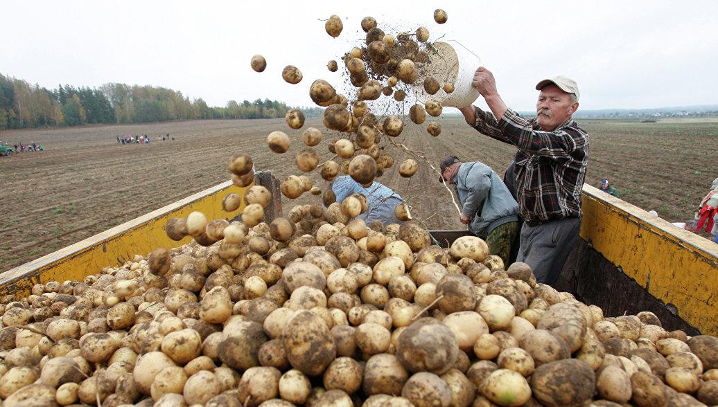 Россельхознадзор нашел бактериальную гниль в картофеле из Белоруссии