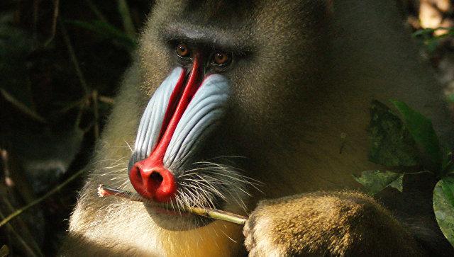 Приматы определяют больных сородичей позапаху фекалий