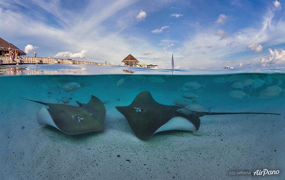 Подводный мир Мальдив. Скаты