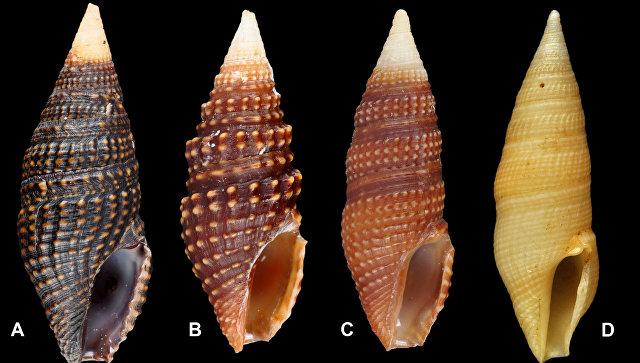 Русские ученые обнаружили три новых вида морских улиток-«киллеров»