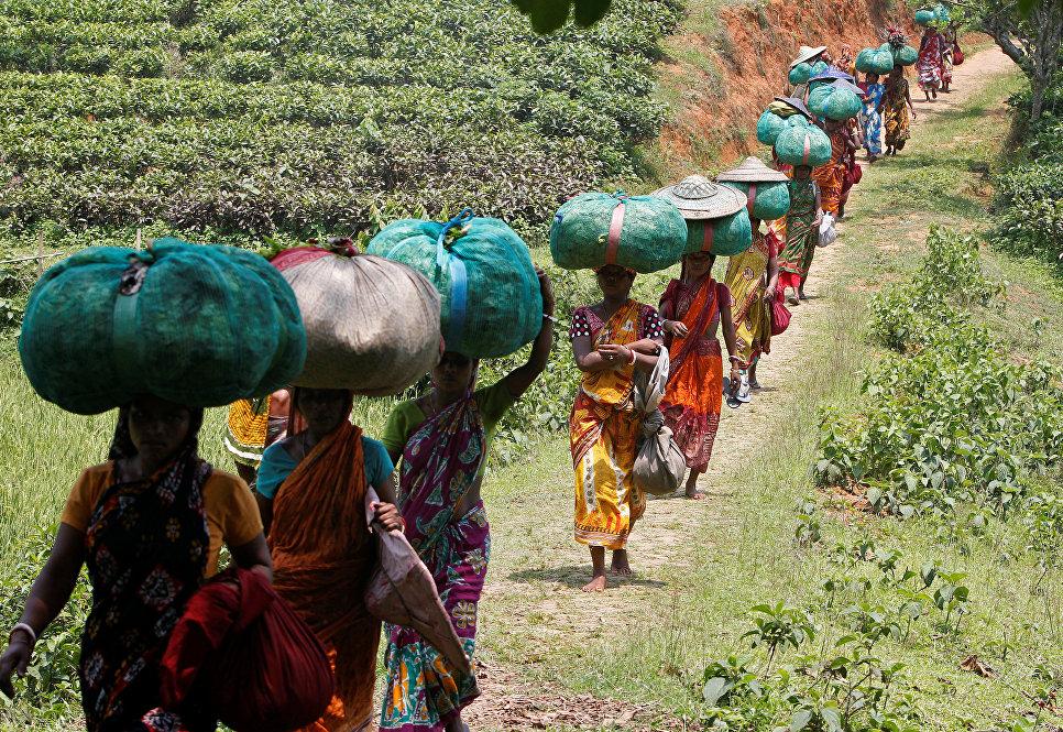 Рабочие несут мешки с чайными листьями на плантации в Индии