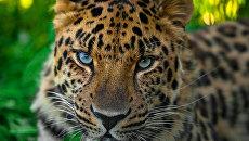 Дальневосточный леопард Николай познакомился с невестой
