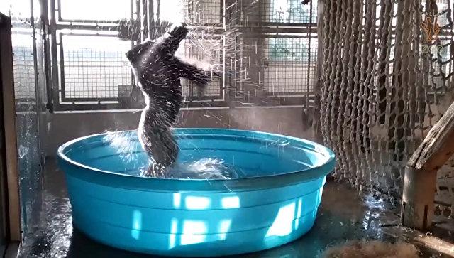 Как будто никто не видит: горилла зажигательно станцевала в бассейне