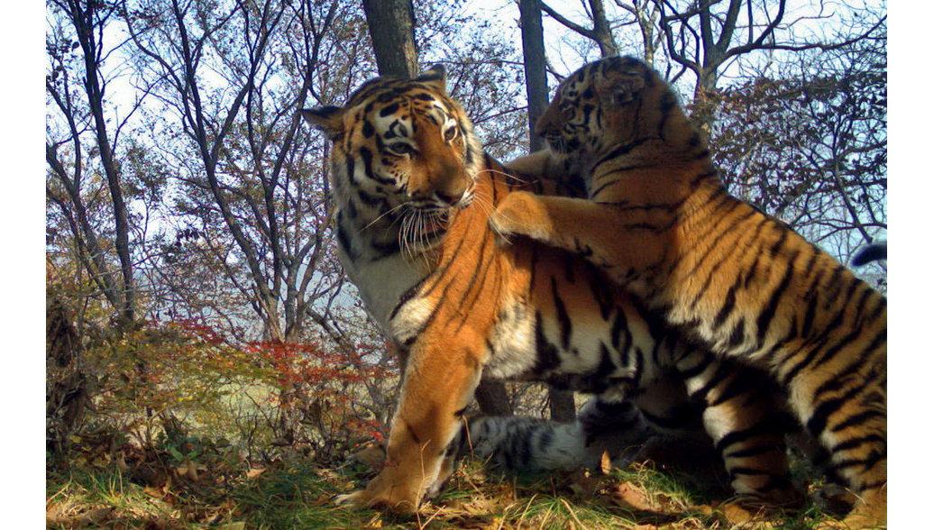 На Земле леопардов зафиксировали шесть новых амурских тигров