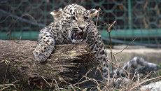 Выпущенные в дикую природу на Кавказе леопарды за год научились охотиться