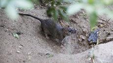 Крыса в районе Чайнатауна в Нью-Йорке. Архивное фото
