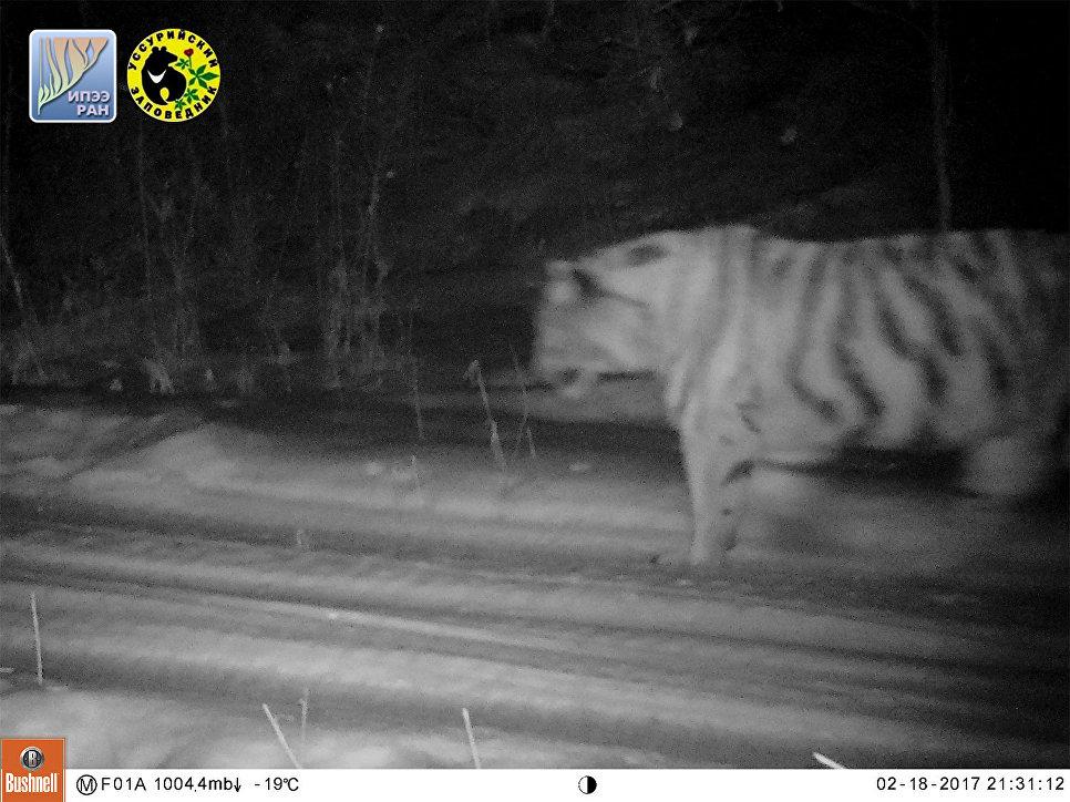 Охотник изПриморья застрелил краснокнижного тигра. Возбуждено дело