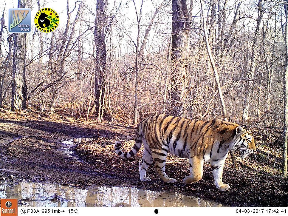 Молодая тигрица, появившаяся в Уссурийском заповеднике в 2016 году. На левом плече у тигрицы примерно месяц заживает рана. Апрель 2017 года