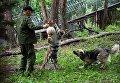 Десятимесячный тигренок Шерхан и собака Табаки играют с сотрудником сафари-парка в вольере Приморского сафари-парка
