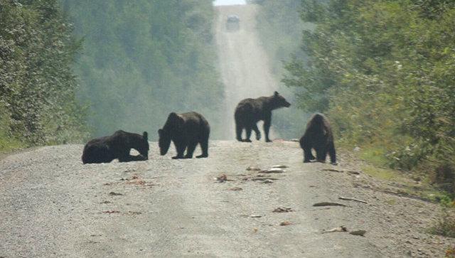 В Хабаровском крае медведи съели тонну рыбы, выпавшей из фуры на дорогу