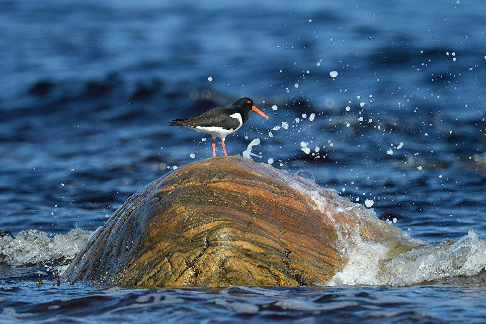 Кулик-сорока в Онежском заливе в районе мыса Глубокий