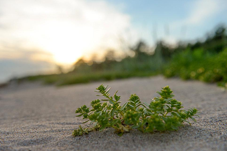 Гонкения бутерлаковидная (Honckenya peploides) на берегу Онежского залива в районе мыса Глубокий
