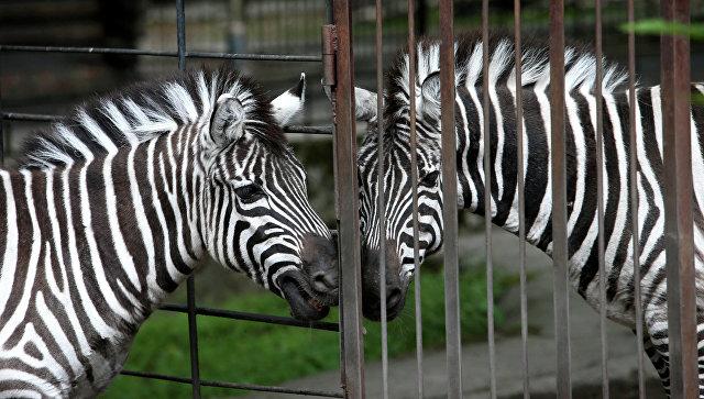 ВКалининградском зоопарке появился насвет детеныш зебры