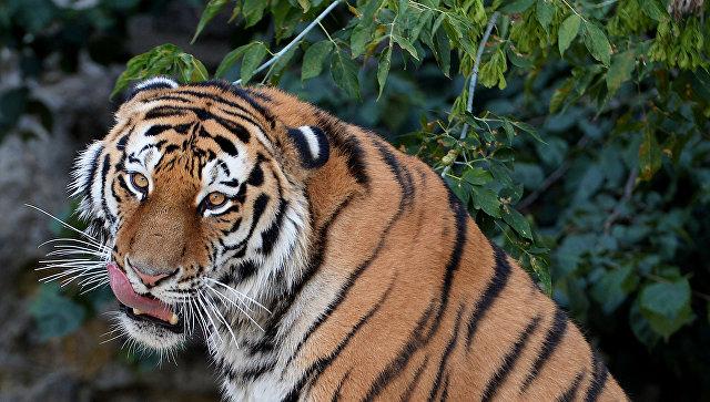 Гражданин Приморья убил амурского тигра