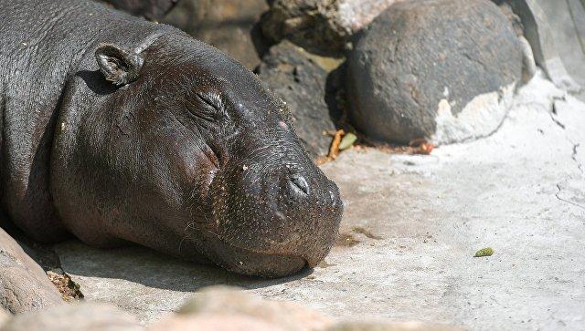 Неменее  100 бегемотов убила сибирская язва вНамибии