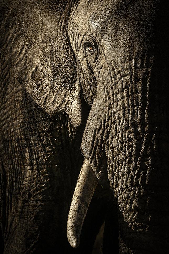 Работа фотографа из Новой Зеландии/Великобритании David Lloydl The power of the matriarch в категории Портреты животных в финале конкурса Wildlife Photographer of the Year 2017