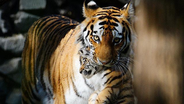 Амурская тигрица со своим детенышем. Архивное фото