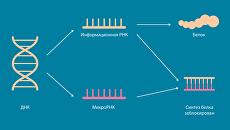 Микро-РНК являются дирижерами активности генов внутри живых клеток