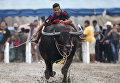 Ежегодная гонка буйволов в провинции Чонбури, Таиланд