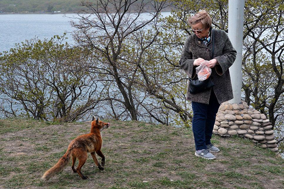 Лисица на острове Русском