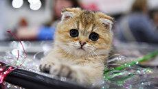Кошка породы шотландская вислоухая (скоттиш-фолд) на международной выставке Гран-при Royal Canin-2017 в Москве