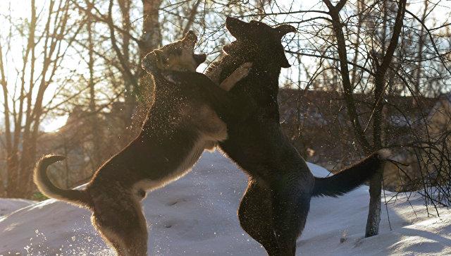 Бездомные псы играют на улице Великого Новгорода