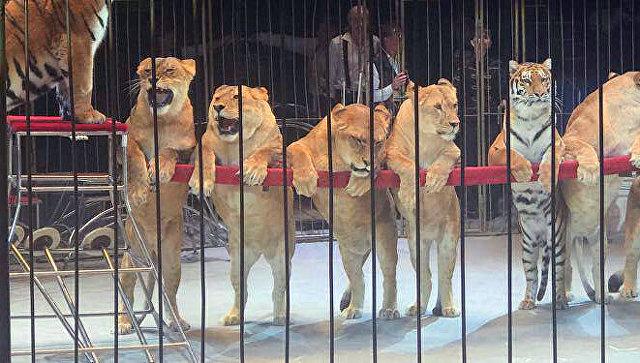 Номер со львицами в цирке