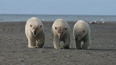 Семья медведей на косе мыса Блоссом, Чукотксий автономный округ, 2008 год
