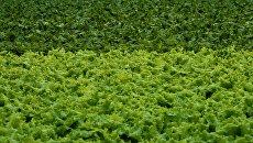 Выращивание зеленого салата
