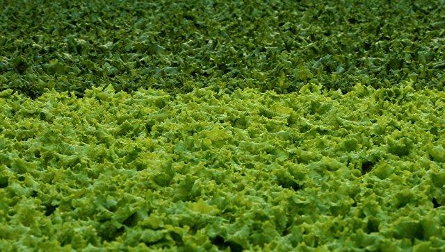 Впроизводство баклажанов вЛенобласти вложат 2 млрд руб.