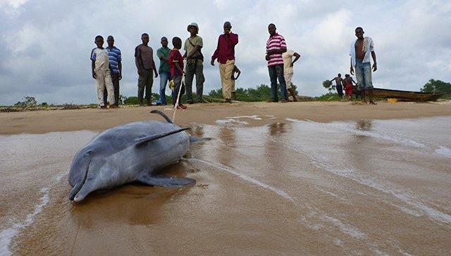 Дельфин-горбун, запутавшийся в сети и выброшенный на берег Камеруна