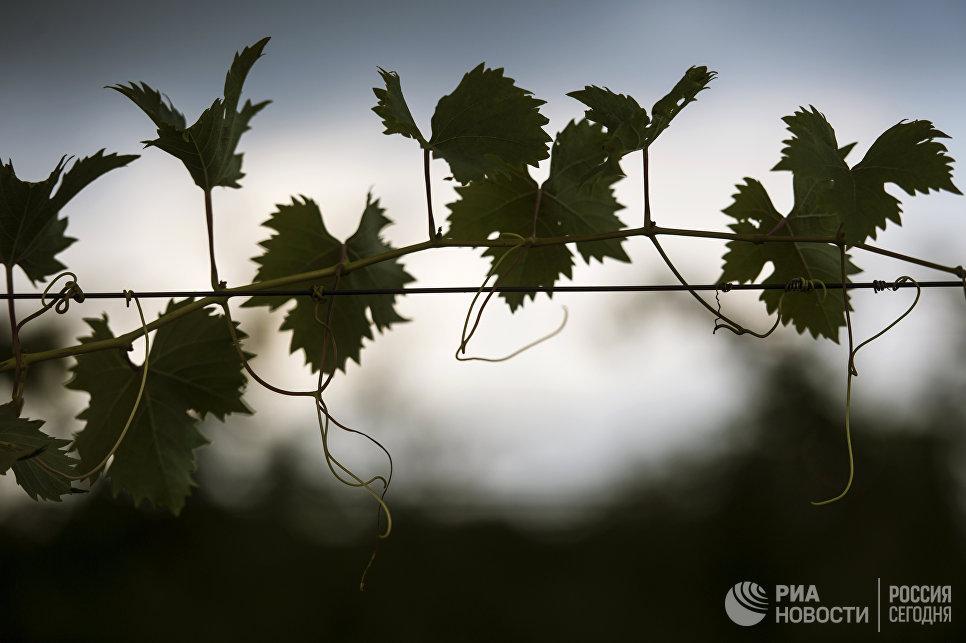 «Массандра» исторически производит вино исключительно из своего винограда. В год урожай составляет в среднем 14 – 15 тысяч тонн.