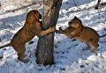 Полуторагодовалые африканские львы, которых привезли из крымского парка львов Тайган, осваивают новую территорию в Приморском сафари-парке во Владивостоке