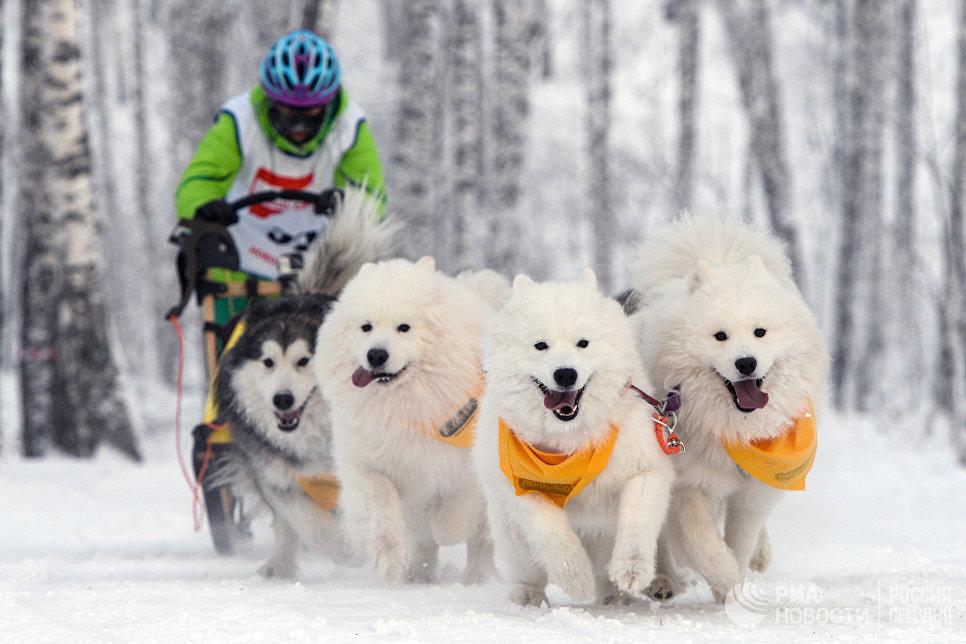 Участник заезда на собачьих упряжках в соревнованиях по ездовому спорту в Новосибирске