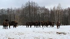 В заповеднике Брянский лес выпустят на волю новую партию зубров