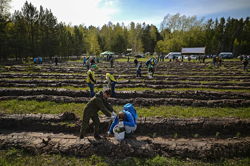 Волонтеры сажают саженцы хвойных пород деревьев в рамках акции Всероссийский день посадки леса на территории Кудряшовского лесничества в Новосибирской области