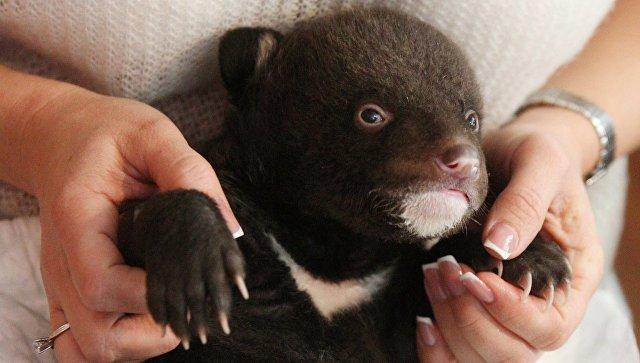 В Приморье к дверям охотнадзора подкинули гималайского медвежонка