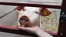 Свинья Роза перед операцией по удалению миомы матки