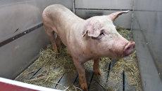 Свинья Роза. Архивное фото