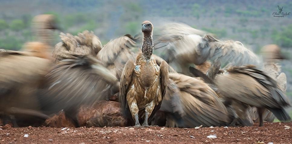 Африканский гриф, Зиманга, Южная Африка