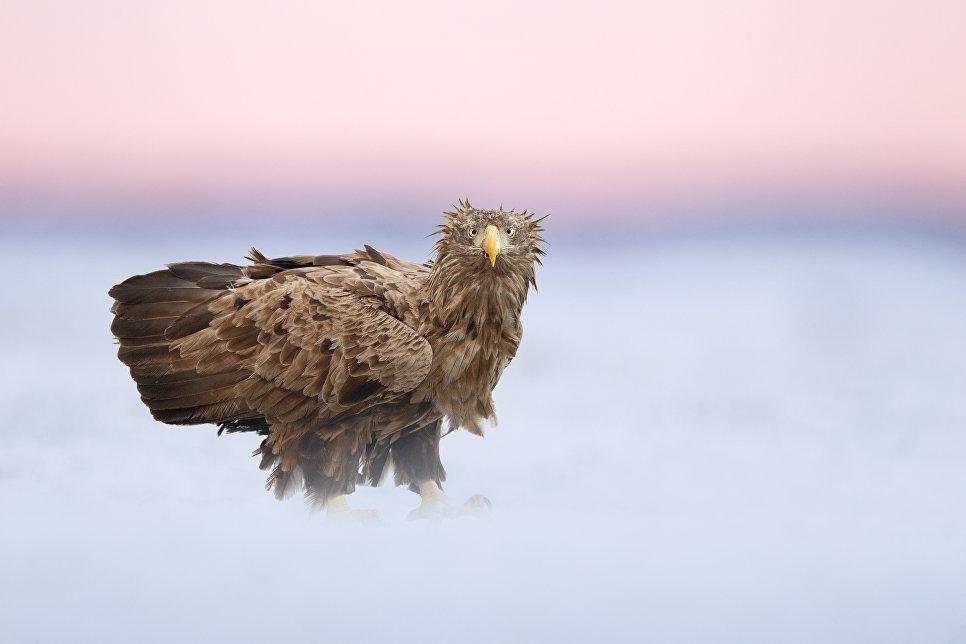 Белохвостый орел, Хортобадь, Венгрия