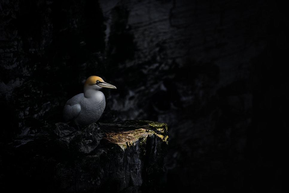 Северная олуша, Бемптон-Клиффс, Великобритания