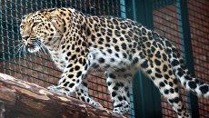 В Московском зоопарке подобрали пару леопарду, спасенному от браконьеров