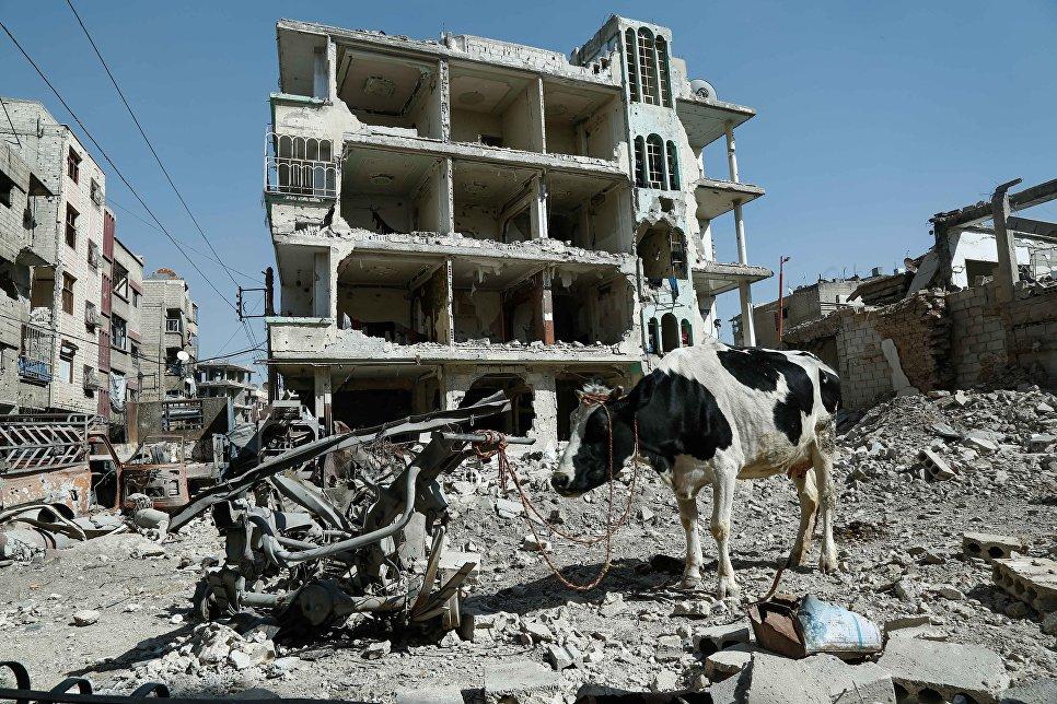 Привязанная корова в Думе, Сирия. 12 марта 2018 года
