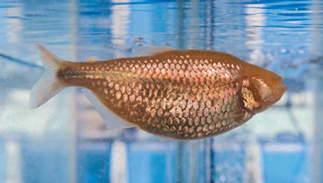 Уникальная рыба-«диабетик», найденная в одной из пещер Мексики