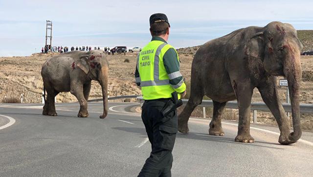 Фургон сцирковыми слонами перевернулся вИспании