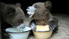 В молоко для кормления медвежат добавляют яичный желток, гречневую кашу и подсолнечное масло