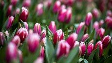 Тюльпаны, выращенные в теплицах. Архивное фото