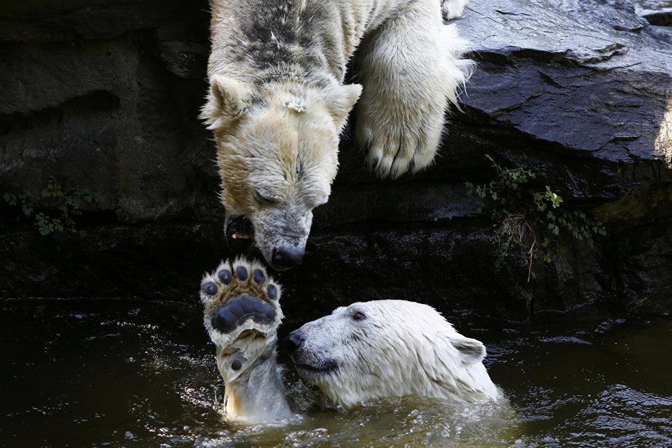Полярные медведи играют в воде в зоопарке Тирпарк в Берлине